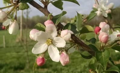 apple blossom close up good