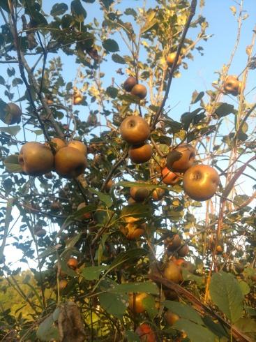 wdf keener seedling apple tree