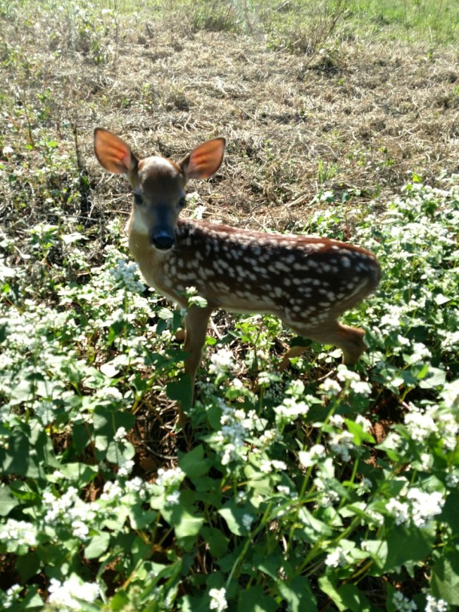 fawn 1 June 2019