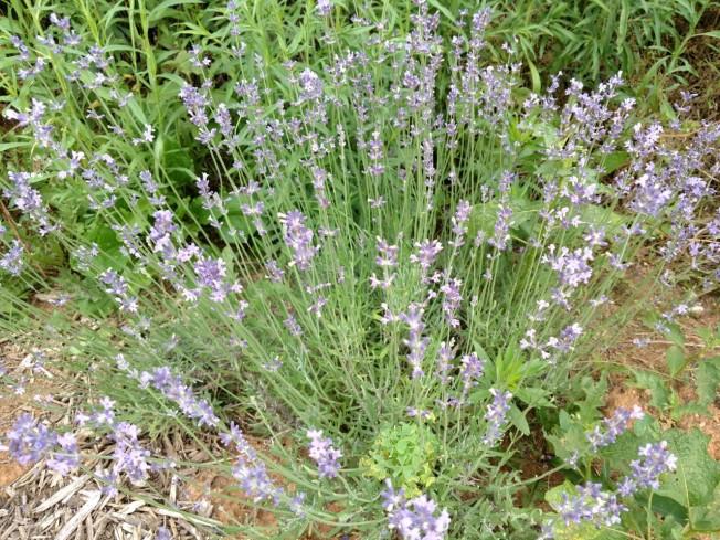lavender WDF June 2019