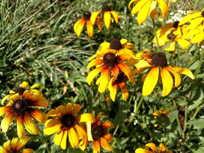 black eyed susans July 2020