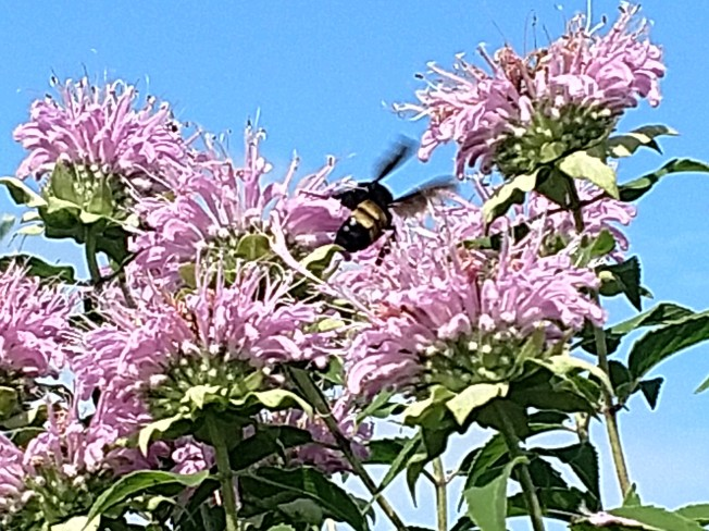 pink bee balm with bee July 2020