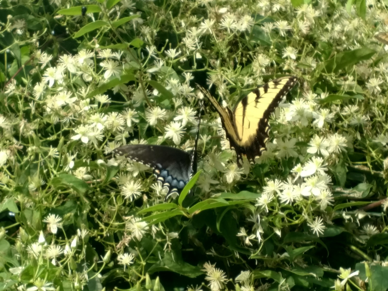 butterfly plant med close